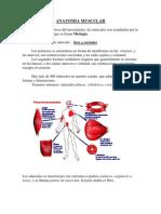 Anatomia Muscular