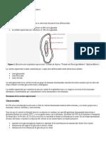 Glucocorticoides y andrógenos suprarrenales