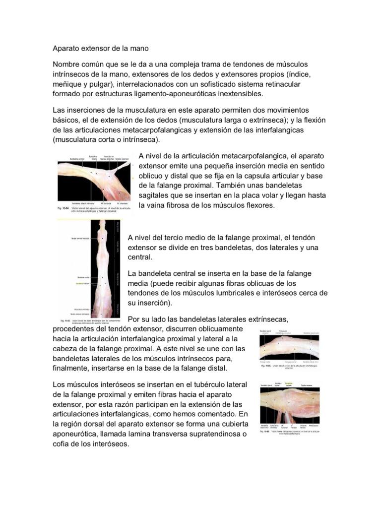 Hermosa Extensor Del Dedo Anatomía Del Tendón Ilustración - Imágenes ...