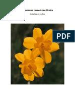 Narcissus cerrolazae Ureña, detalles de la flor