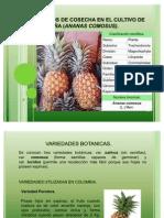 parametros de cosecha en el cultivo de piña
