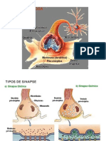 Aula 4 Sinapses e Neurotransmissores