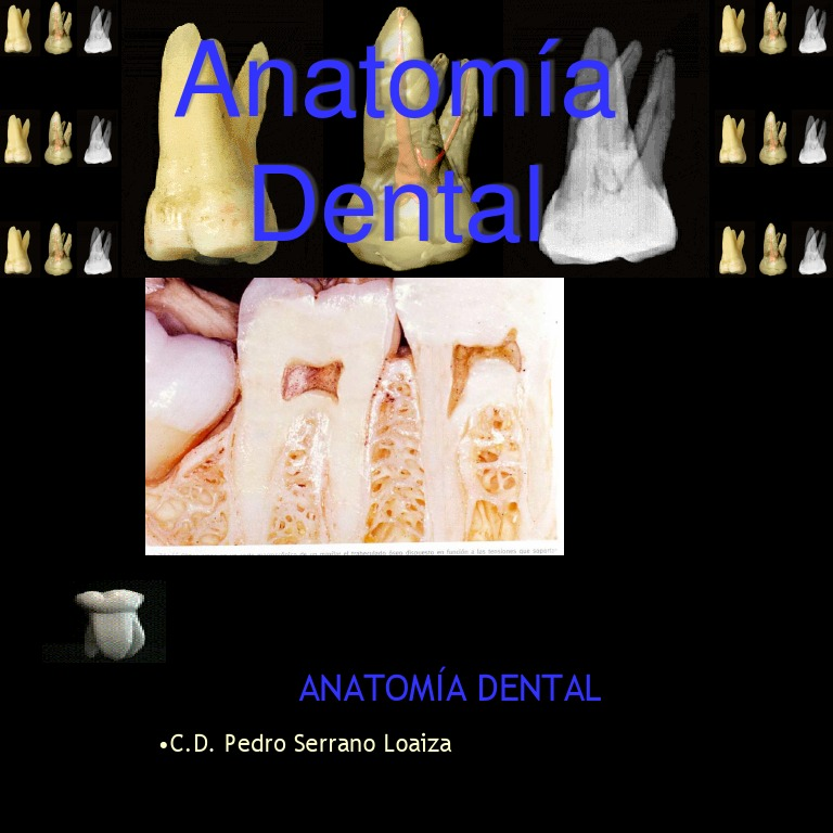 anatomiadental2-100827115717-phpapp02