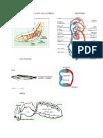 Sistema Circulatorio de Una Lombris Mamifero