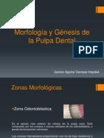 Morfología y génesis pulpar