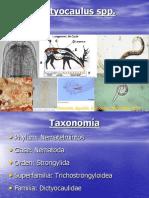 Dictyocaulus spp
