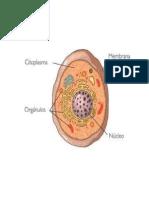 Celula Con Sus Partez