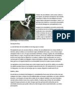 El Lemur Cola Anillada