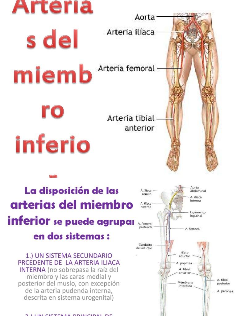 Lujo Arteria Ilíaca Interna Bandera - Imágenes de Anatomía Humana ...