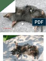 talpa talpa, decomposition of a mole in photo's