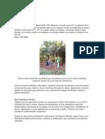 Cultivo Del Palmitoccc