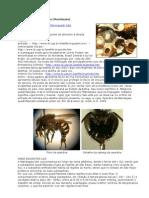 Melipona Quadrifasciata aia e Anthidioides