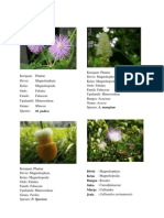 Mimosaceae