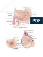 Anatomy and Physiology of Male Rs