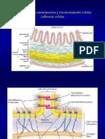 Clase Adhesión Biología Celular