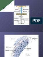 Clase_Retículo Endoplásmico 2_Biología Celular
