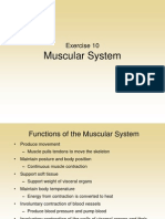 Muscular System Post Lab
