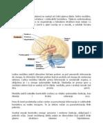 Anatomija Cns A