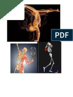 Cuerpo Humano (esqueleto y musculatura).