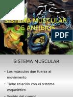 Sistema Muscular de Anfibiosfinal