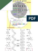 Bioq 2006 Expresión Genetica Clase 22