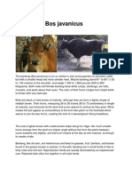 Bos javanicus
