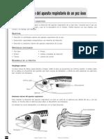 Experiencia-Aparato respiratorio pez óseo