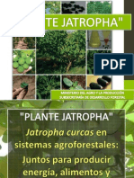 PLANTE JATROPHA