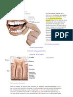 Dentadura humana