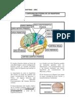 neuroanatomia[1]