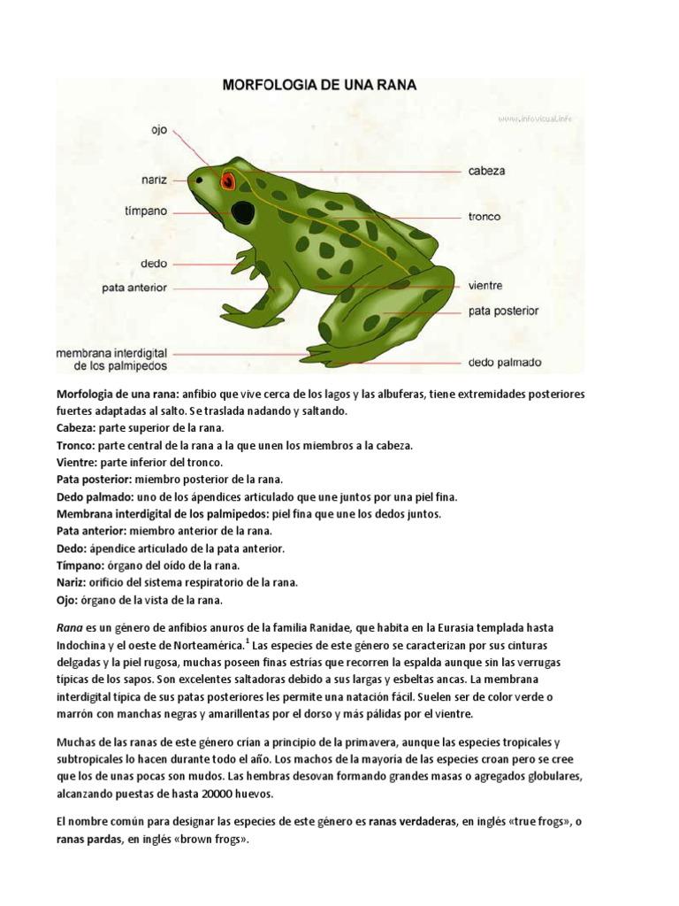Único Rana Respuestas Anatomía Externa Patrón - Anatomía de Las ...