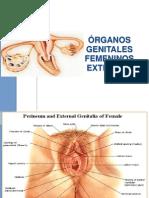Zz Genital Femenino 2