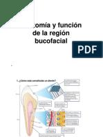 TAO Anatomia Bucodental
