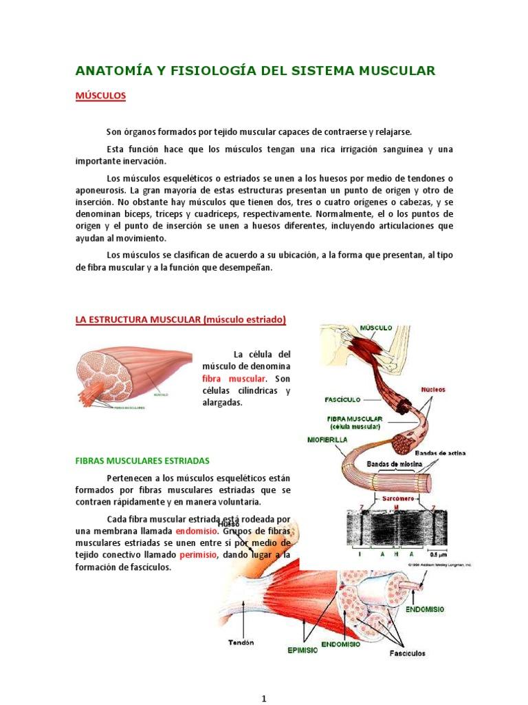 ANATOMÍA Y FISIOLOGÍA DEL SISTEMA MUSCULAR