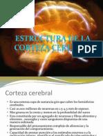 Estructura de La Corteza Cerebral