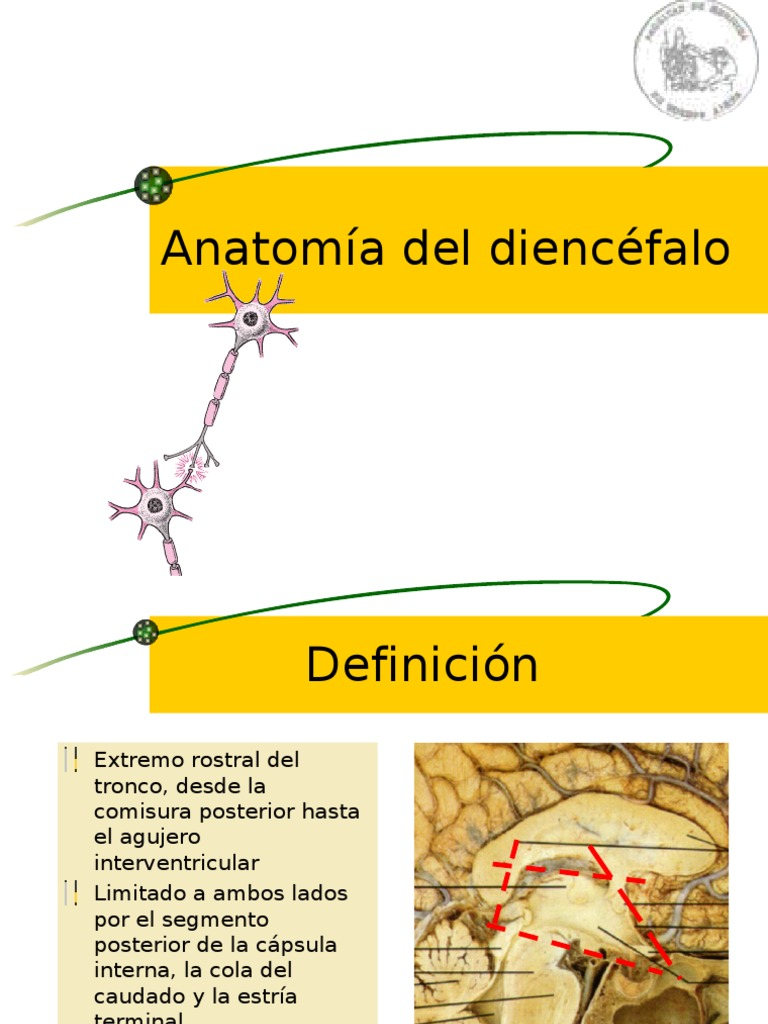 Anatomía Del Diencéfalo (LT) 5