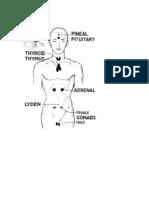 SVP Endocrine Glands Illustrated