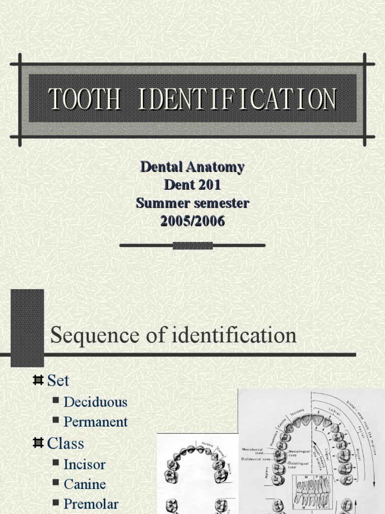 Tooth Identification Mouth Dentistry Branches