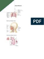 Anatomi Sistem Pernafasan Manusia