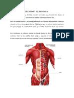 musculatura toracica