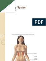 Urinary System15