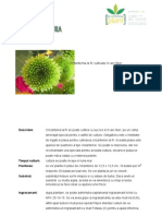 Crizantema Aer Liber