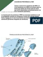 CLASE 8-TRANSLOCACIÓN DE PROTEÍNAS AL RER