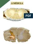 medula y sistematizacion