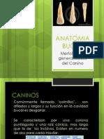 ANATOMIA BUCAL Canino