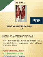Músculos del Muslo