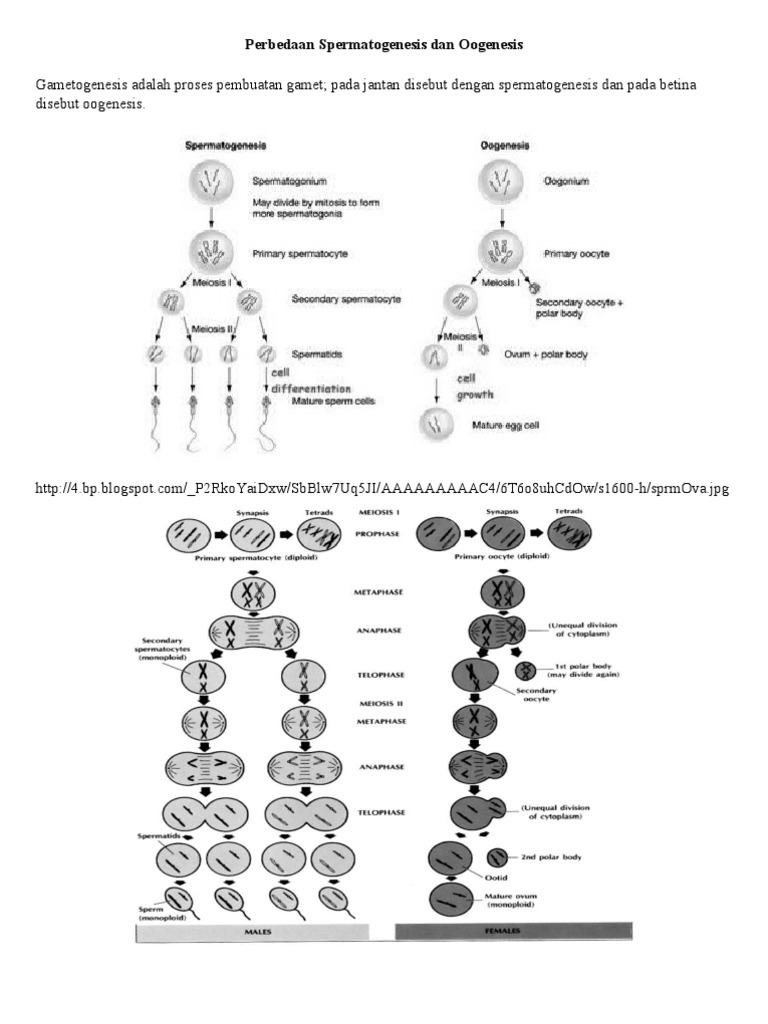 Perbedaan sperm a to genesis dan oogenesis ccuart Image collections