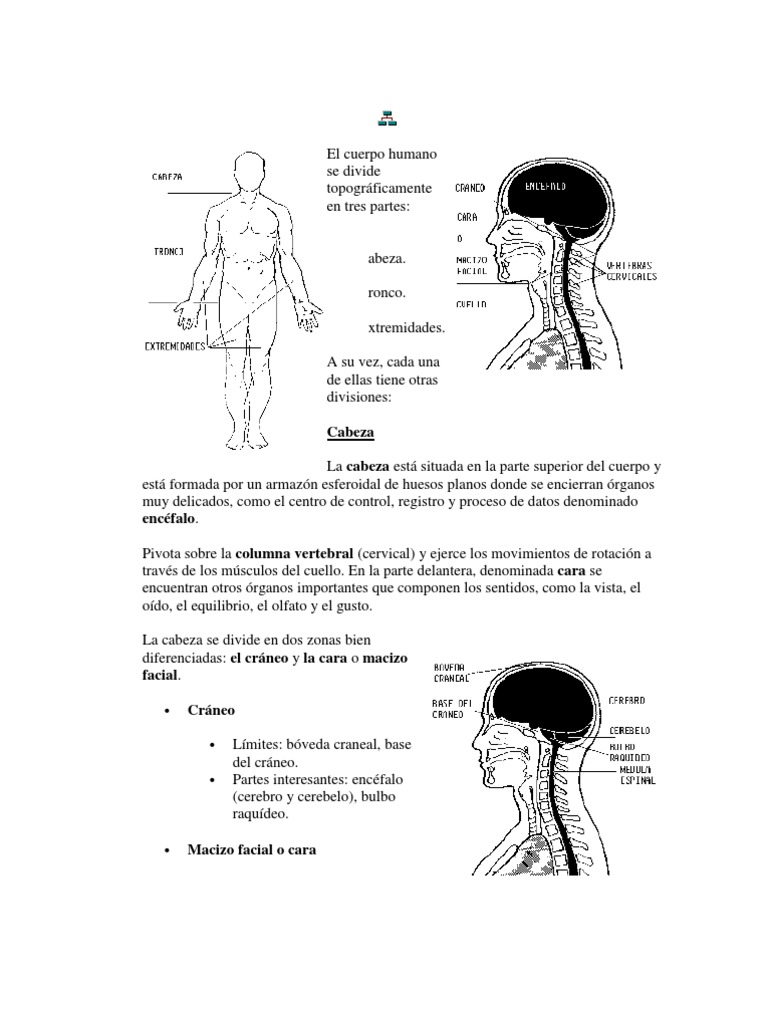 El cuerpo humano se divide topográficamente en tres parte1