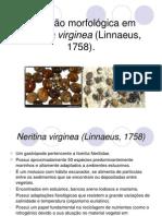 Neritina virginea (Linnaeus, 1758)