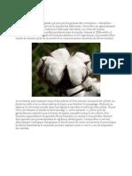 Le coton est une fibre végétale qui entoure les graines des cotonniers